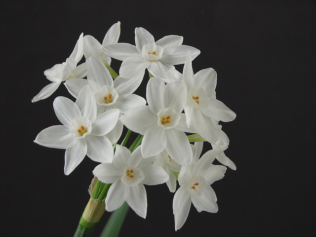 paperwhites paper-whites narcissus blossom white flower