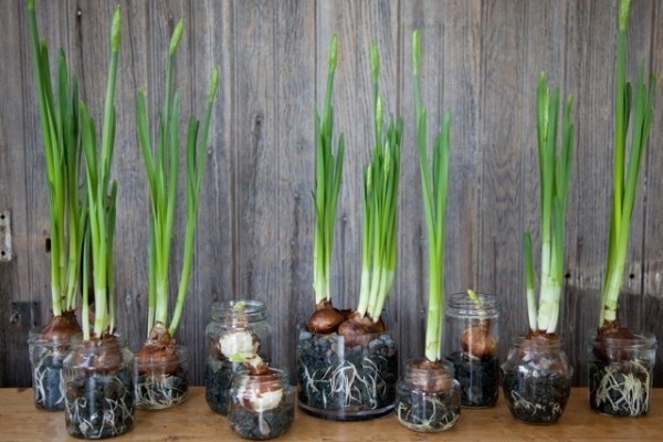 paperwhite paper-white bulbs narcissus mason jars stones water how-to