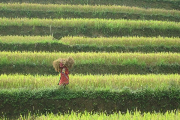 vietnam hillside woman hay