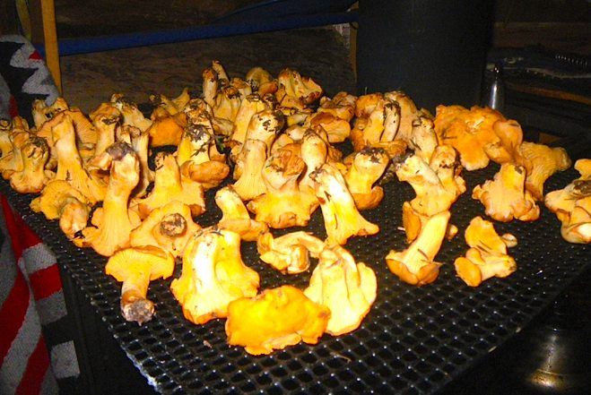 chantarelles-drying-recipe-alaska
