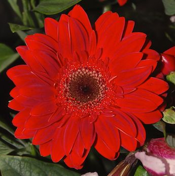 gerbera-flower-red