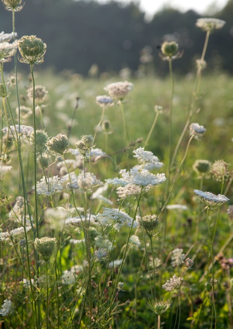 wildflowers-queen-annes-lace