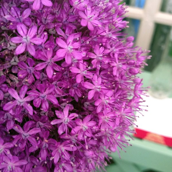 newport-flower-show-allium