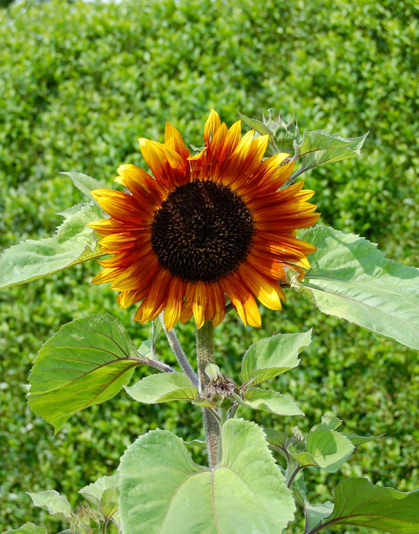 sunflower garden-tour- newport-ri-doris-duke-rough-point
