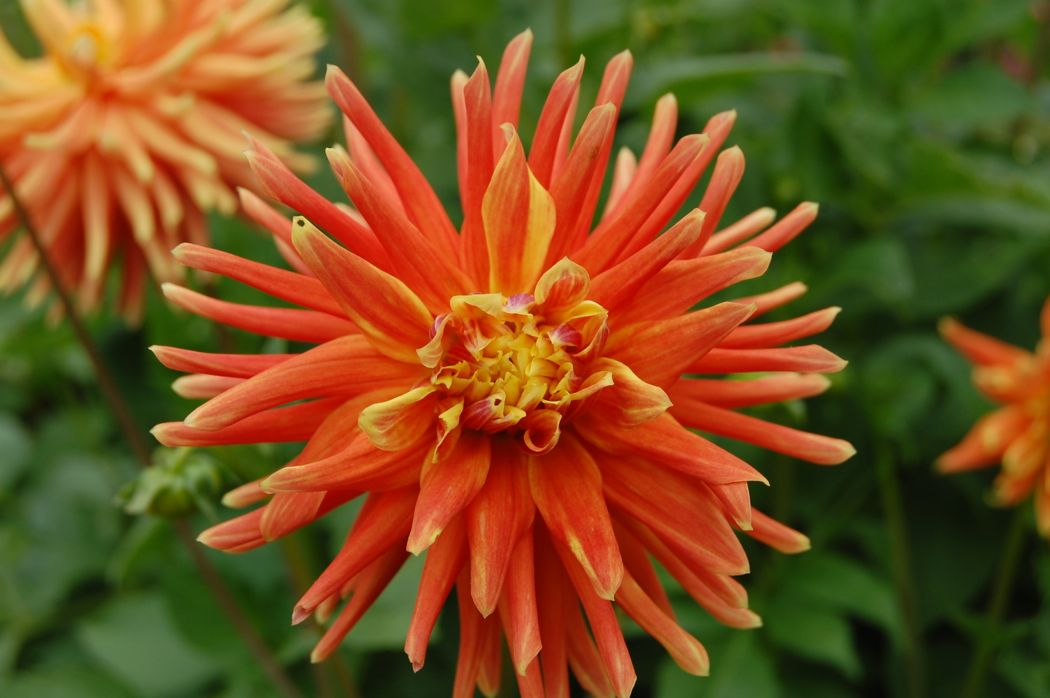 organge dahlia at garden-tour- newport-ri-doris-duke-rough-point
