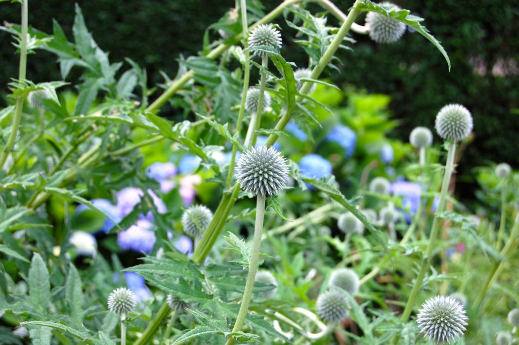 globe thistle garden-tour- newport-ri-doris-duke-rough-point