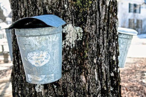 maple syrup tree tapping