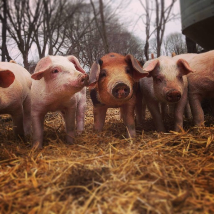 pigs_windmistfarm_jamestown_rhodeisland