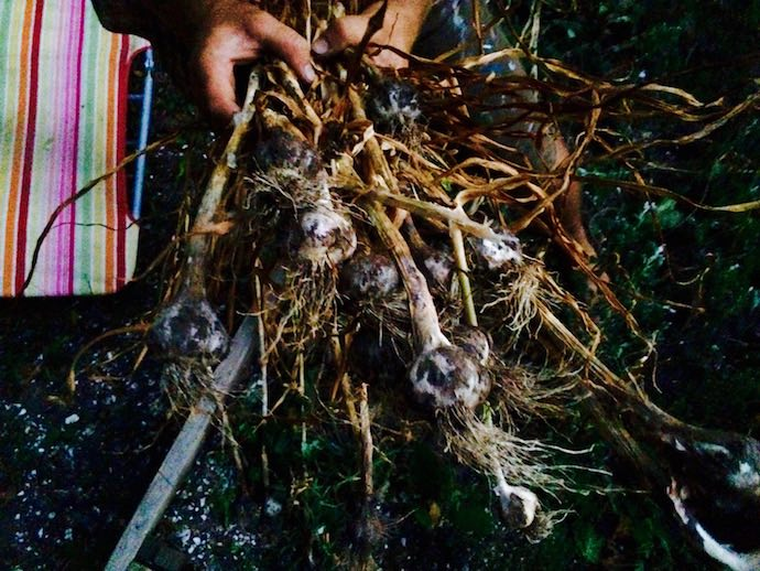 8 harvest garlic while you grill newport