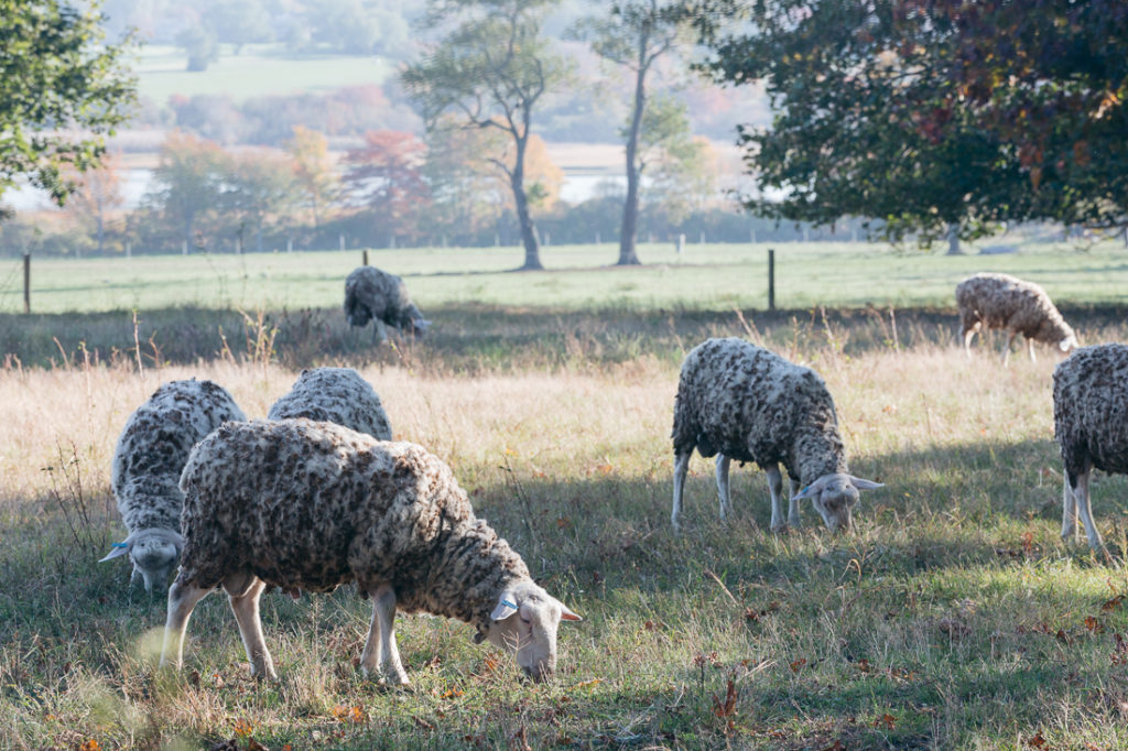 windmist farm merino sheep jamestown ri