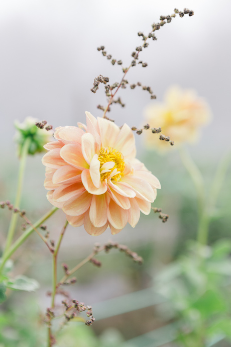 organge dahlia how to store dahlias