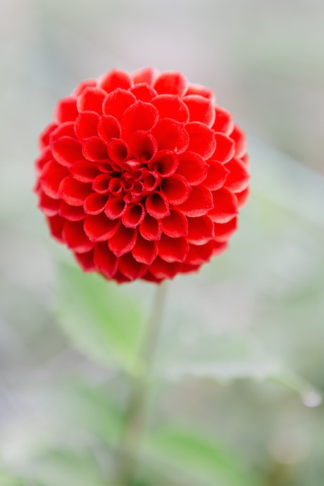 dahlia-bright-red-pom-pon