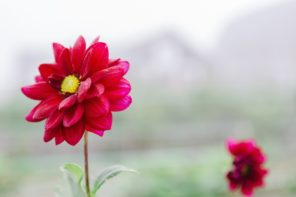 How to Dig up, Divide, and Store Dahlia Tubers for Winter