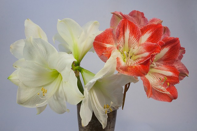 potted amaryllis holiday gift